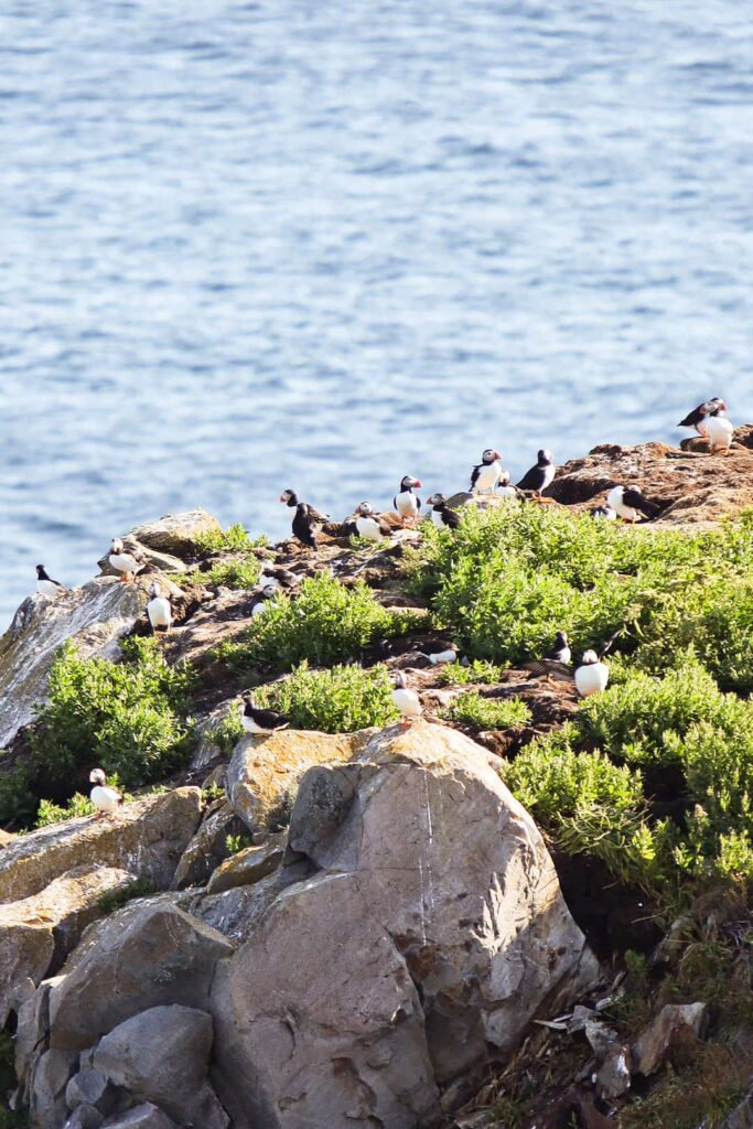Bonavista Puffins + Your Ultimate Newfoundland Travel Guide