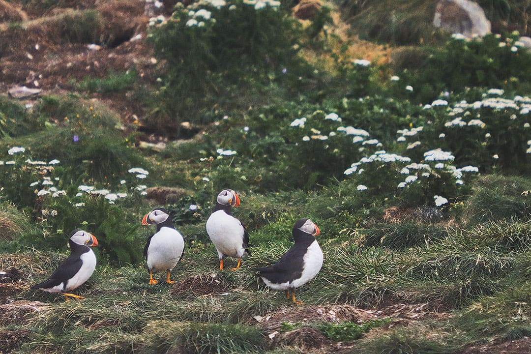 Elliston Puffins and Root Cellars