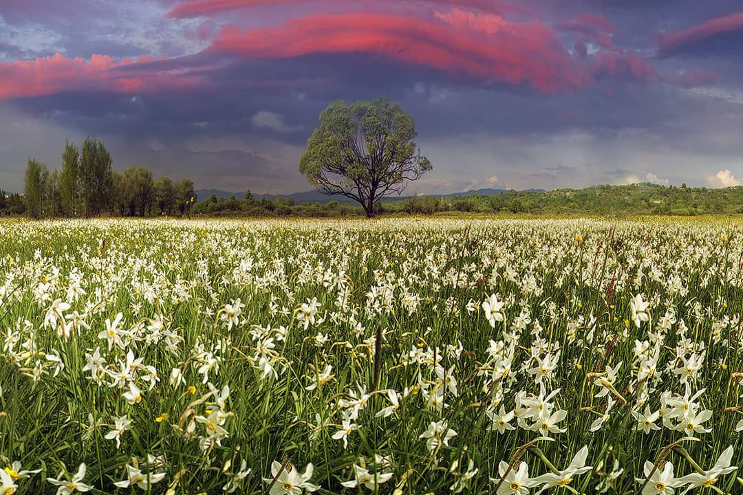Daffodil Festivals